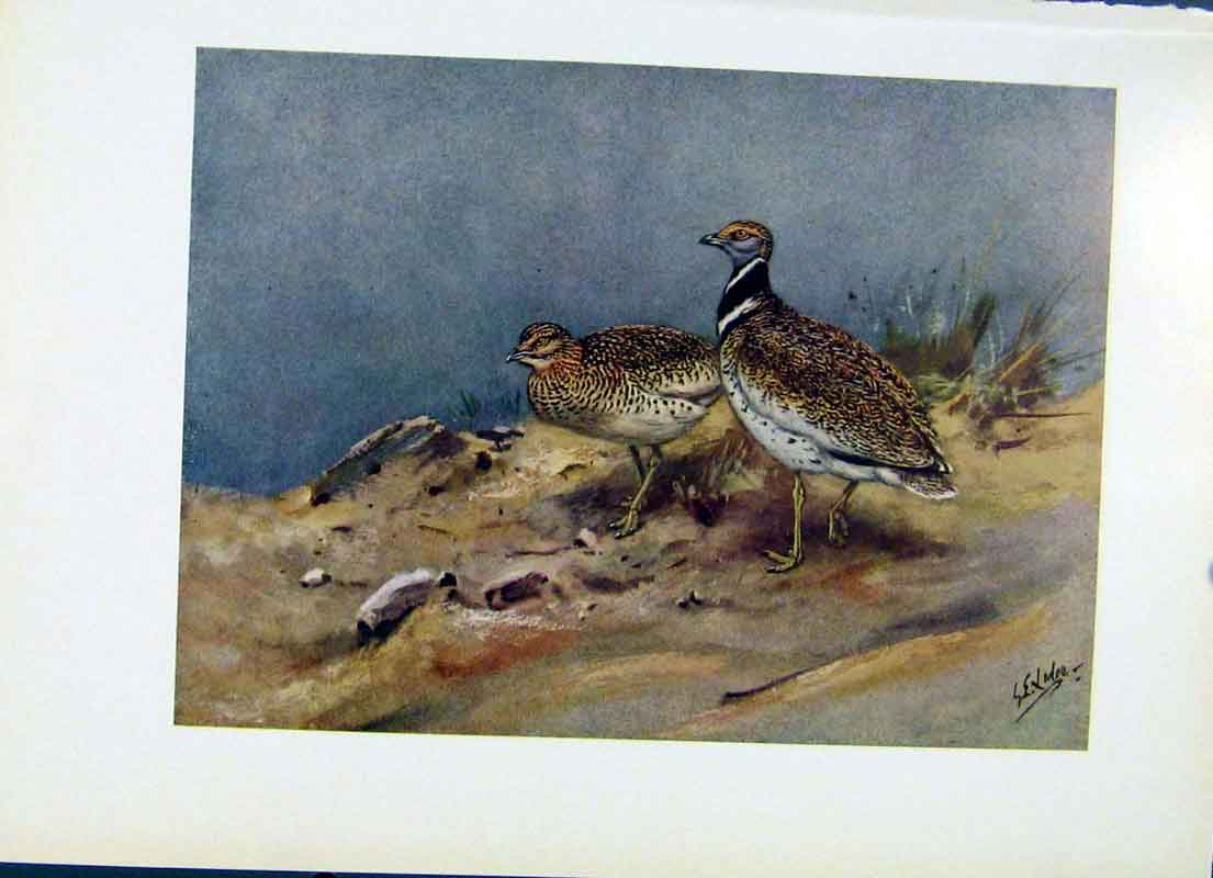 Print Eastern Little Bustard Bird Fine Art C1957 067281 Old Original