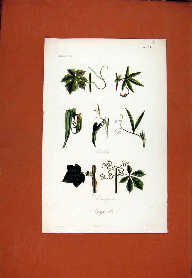 Print Plant Supporta Crampons Flowe Vine Creeper 017471 Old Original
