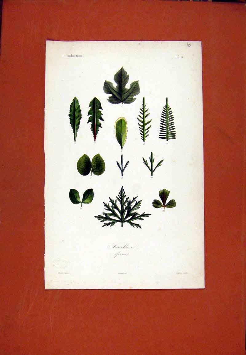 Print Feuillea Forme Flower Plant Leaf Stem C1831 027471 Old Original