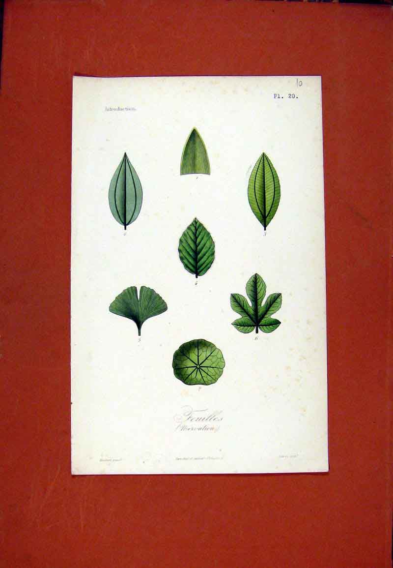 Print Feuilles Flower Leaf Leaves Color C1831 Plant 047471 Old Original