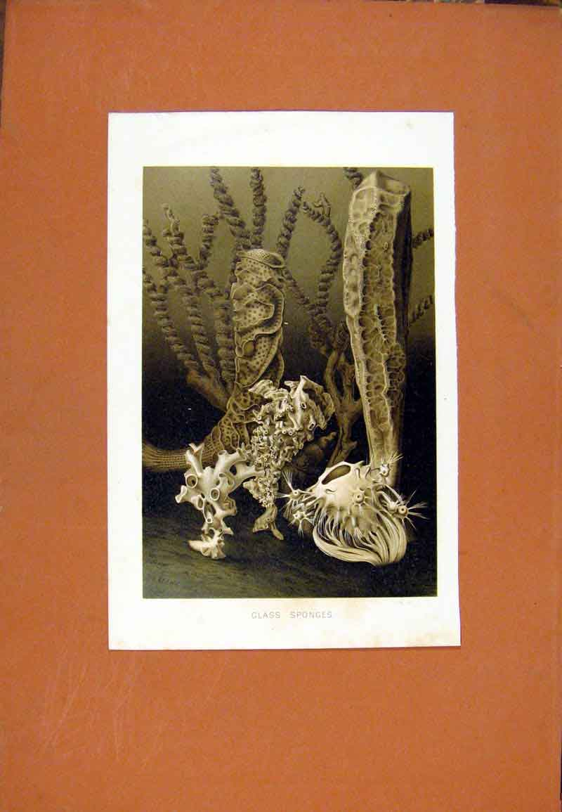 Print Glass Sponges Sea Plant Flower Ocean Water C1831 087471 Old Original