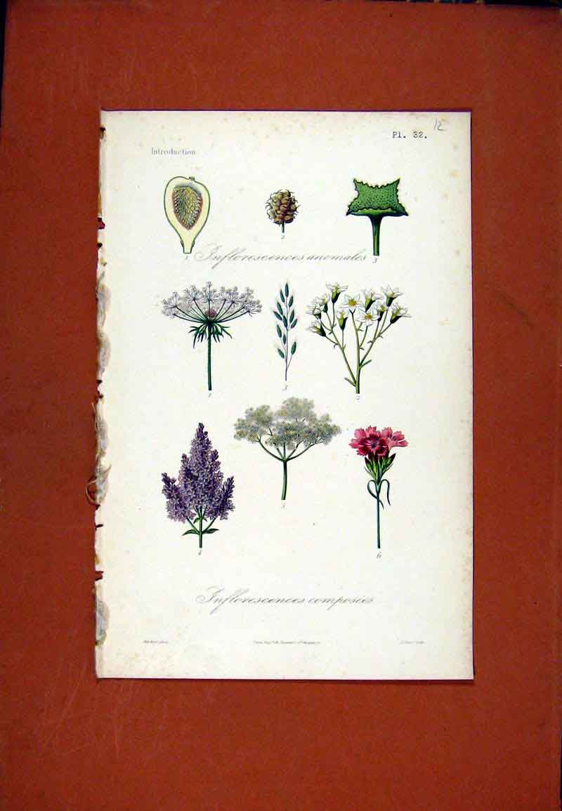 Print Inflorescences Composees Anomales Hand Colored 117471 Old Original