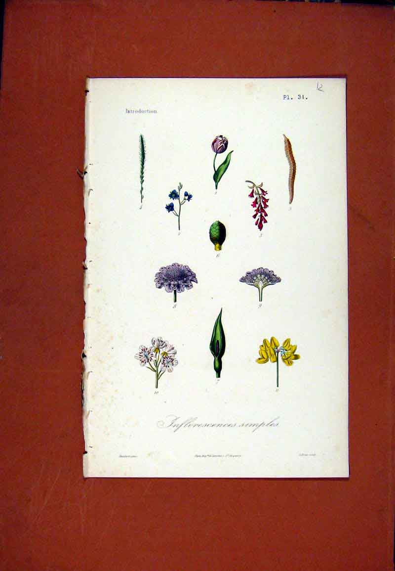 Print Inflorescences Simples Hand Colored Plant 127471 Old Original