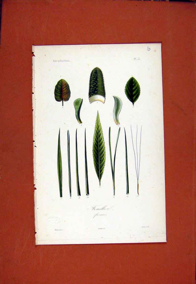 Print Plant Flower Botanical Feuillea Hand Colored 137471 Old Original