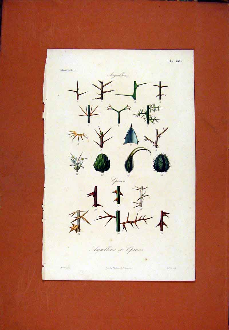 Print Arguillons Epines Hand Colored C1831 Flower 167471 Old Original