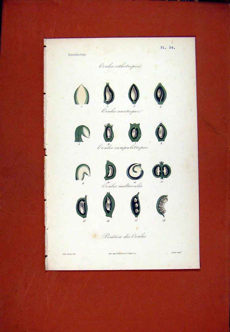 Print Ovules Ortholropea Hand Colored Botanical 247471 Old Original