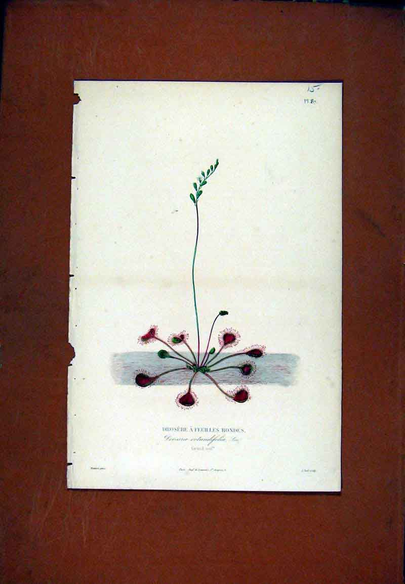 Print Drosere Feuilles Rondes Hand Colored Botanical 277471 Old Original