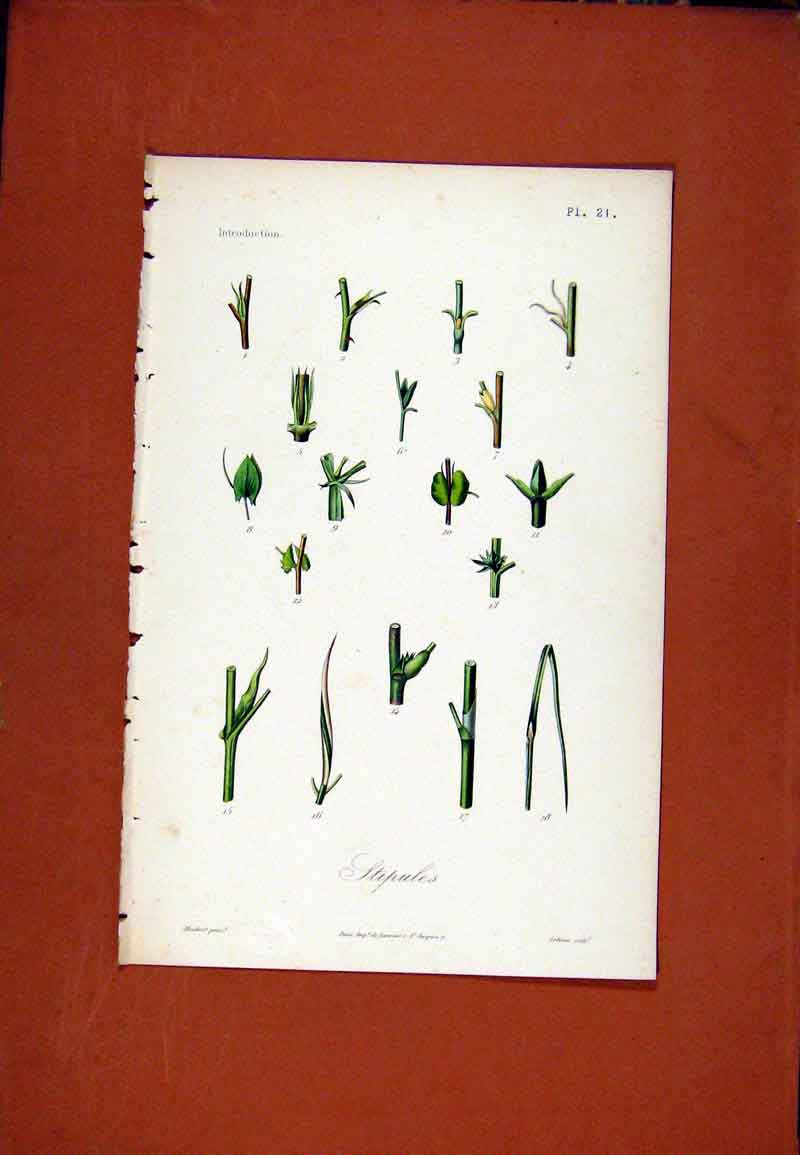 Print Stipules Hand Colored C1831 Botanical Plant 297471 Old Original