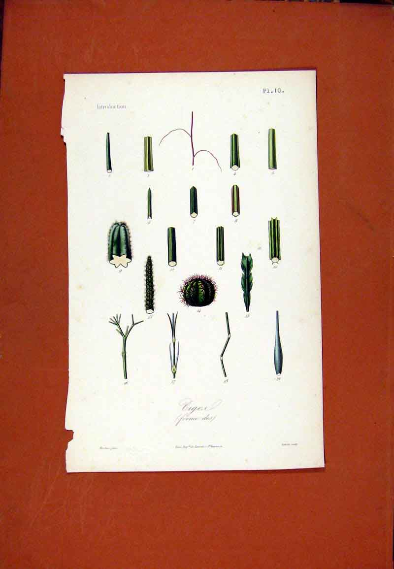 Print C1831 Botanical Hand Colored Flower Ciger 357471 Old Original