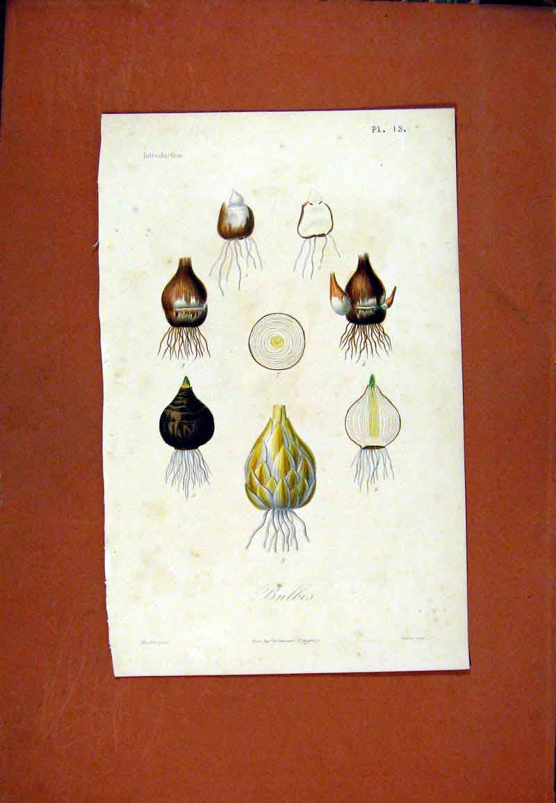 Print Bulbes Plant Flower Root Hand Colored C1831 367471 Old Original