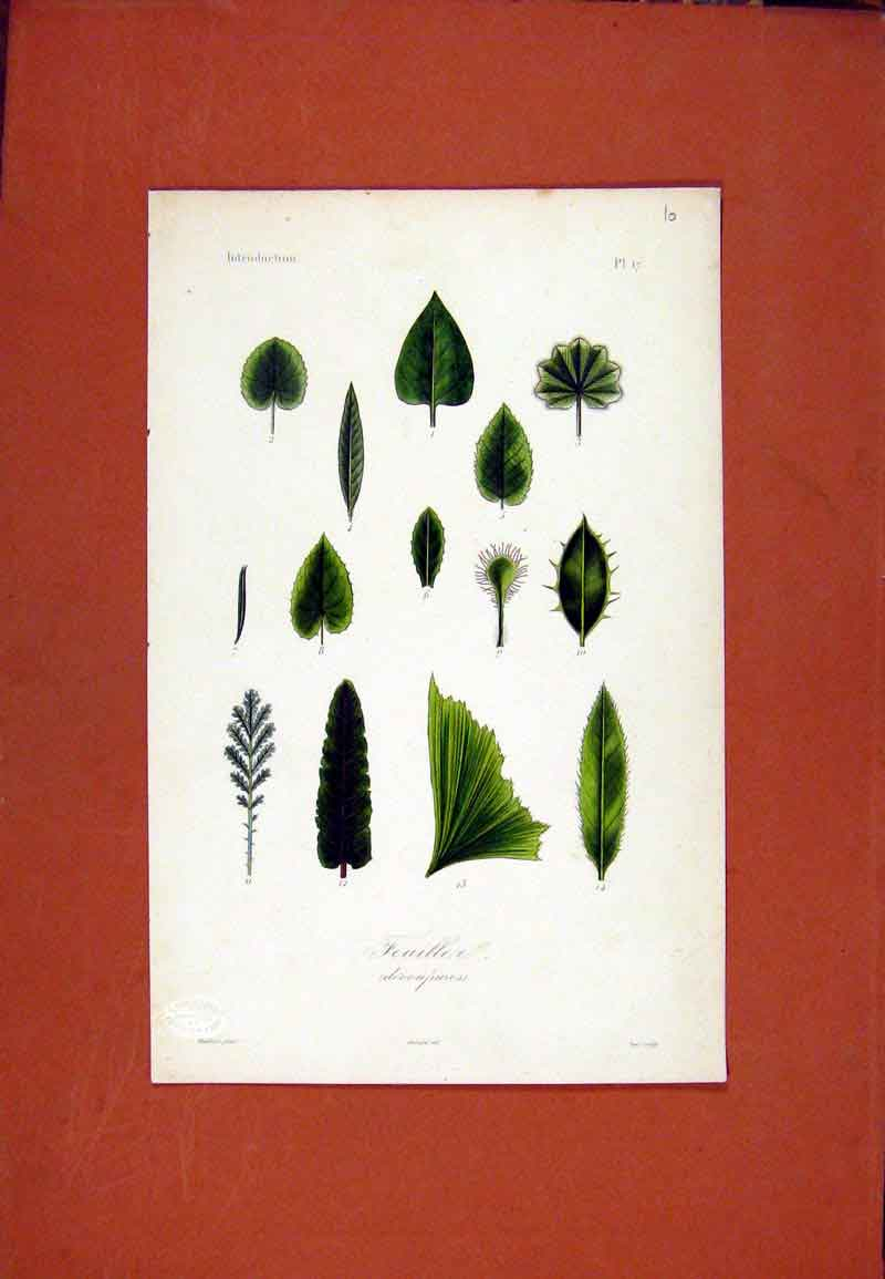 Print Feuillea Flower Plant Botanical Hand Colored 1831 377471 Old Original