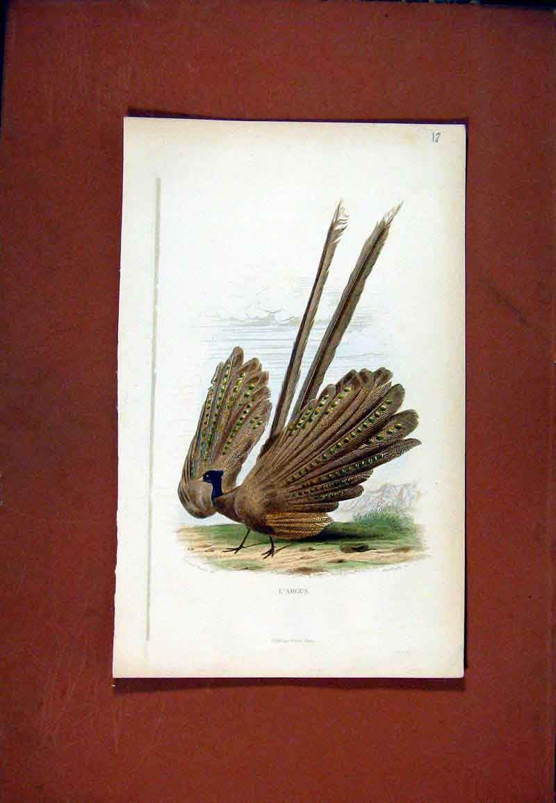 Print Largus Fine Art Birds C1831 Color 017471 Old Original