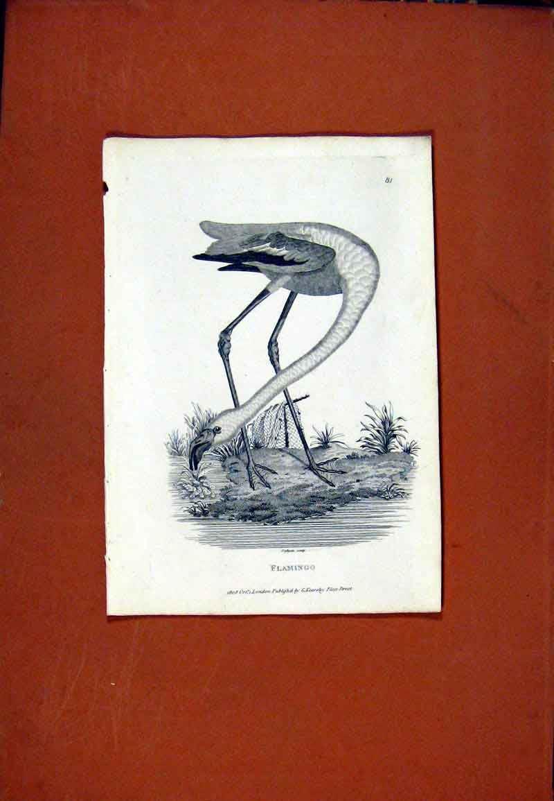 Print Falmingo Birds Fine Art C1831 Sketch 097471 Old Original