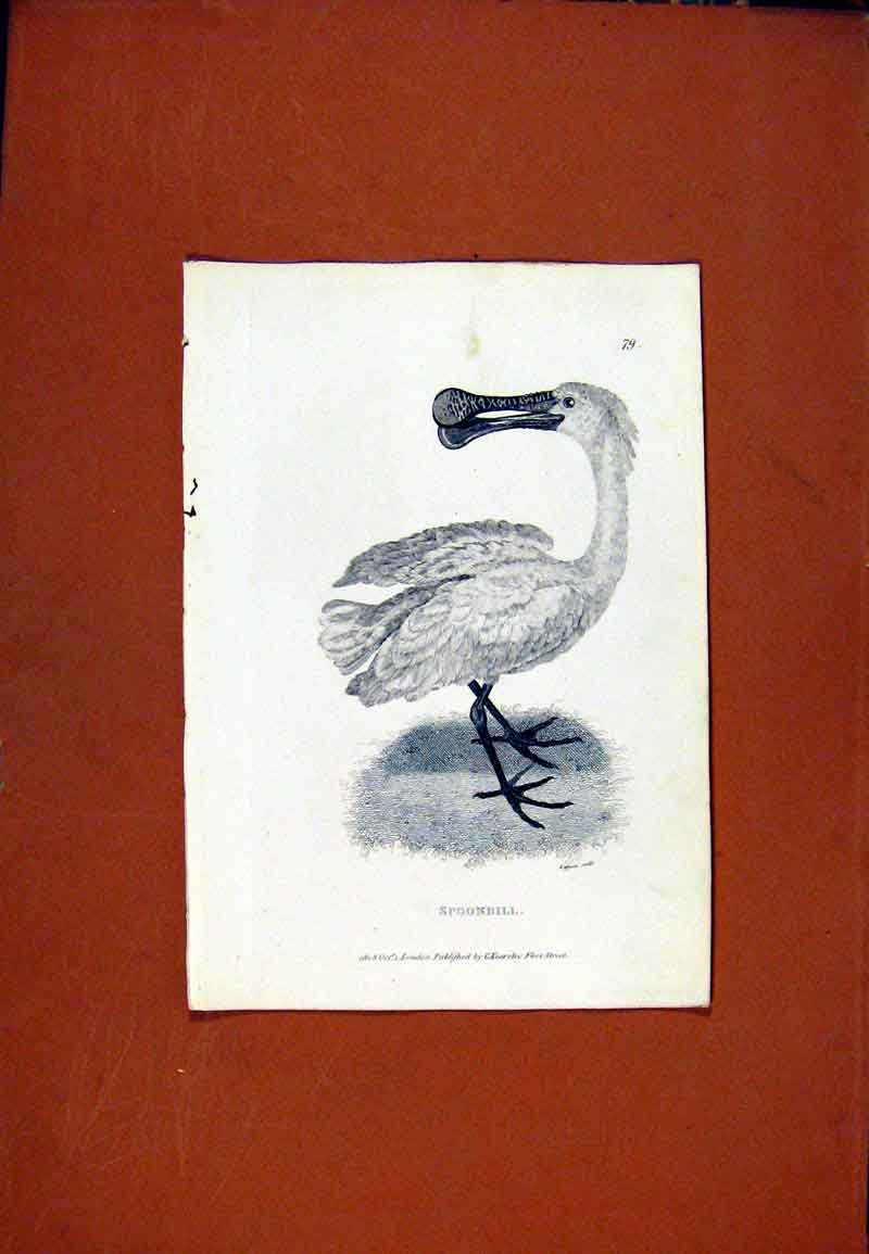 Print Spoonbill Birds Fine Art C1831 Sketch 137471 Old Original