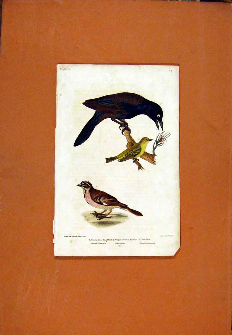 Print Black Crow Female Finch Warbler Blackbird Color 447471 Old Original