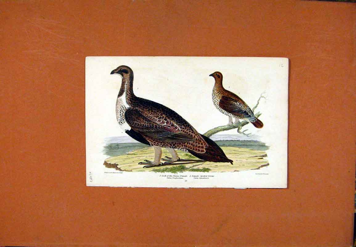 Print Cock Plains Spotted Grous Wilsons Bird 1820 Color 667471 Old Original