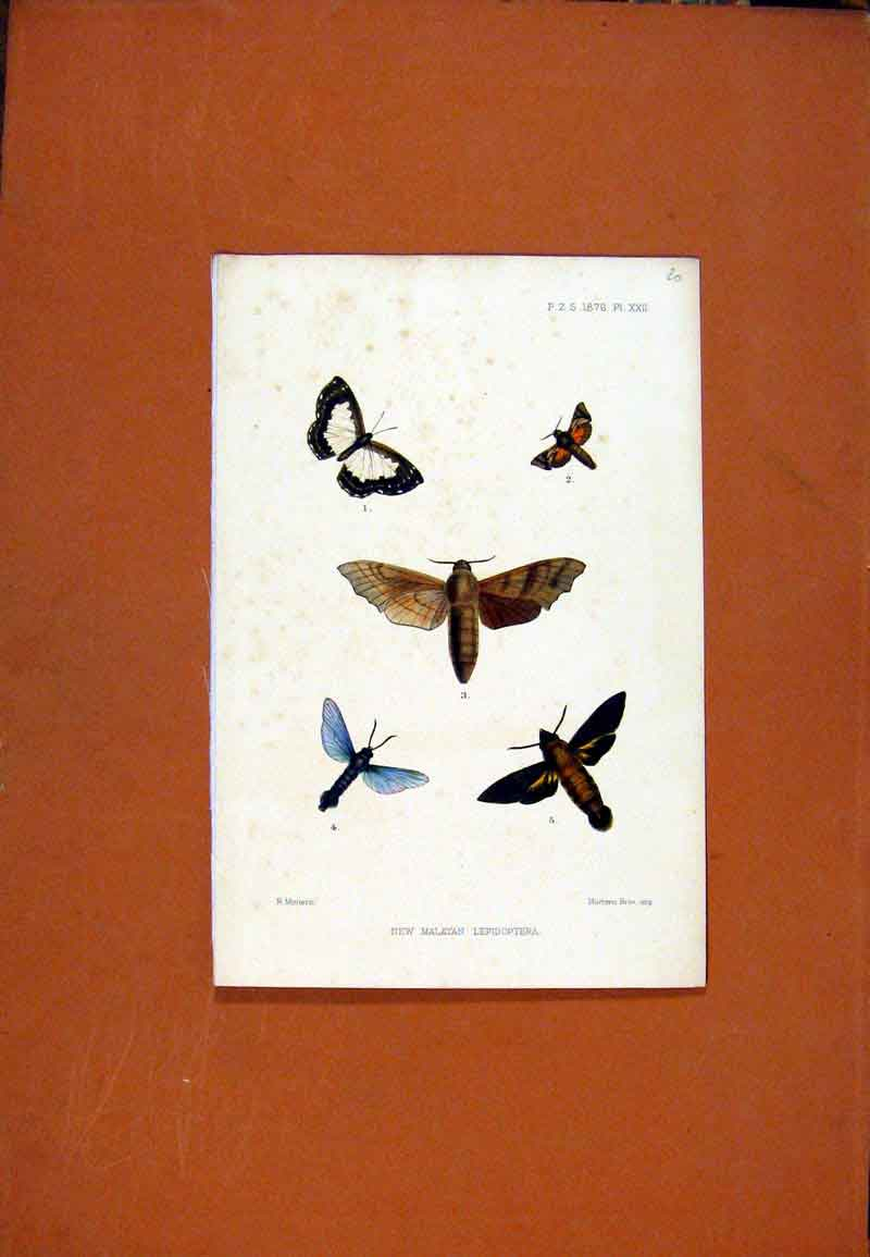 Print New Malayan Lepidoptera Butterfly Color 097471 Old Original