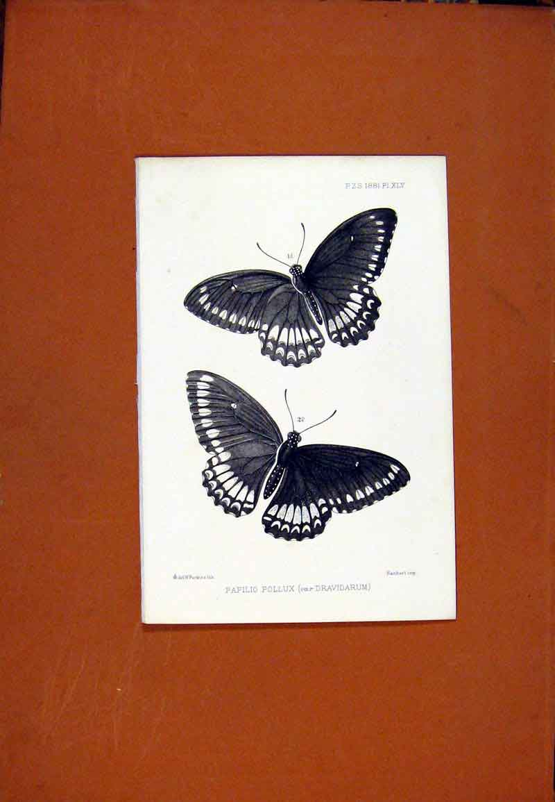 Print Papilio Pollux Butterfly Fine Art C1831 147471 Old Original