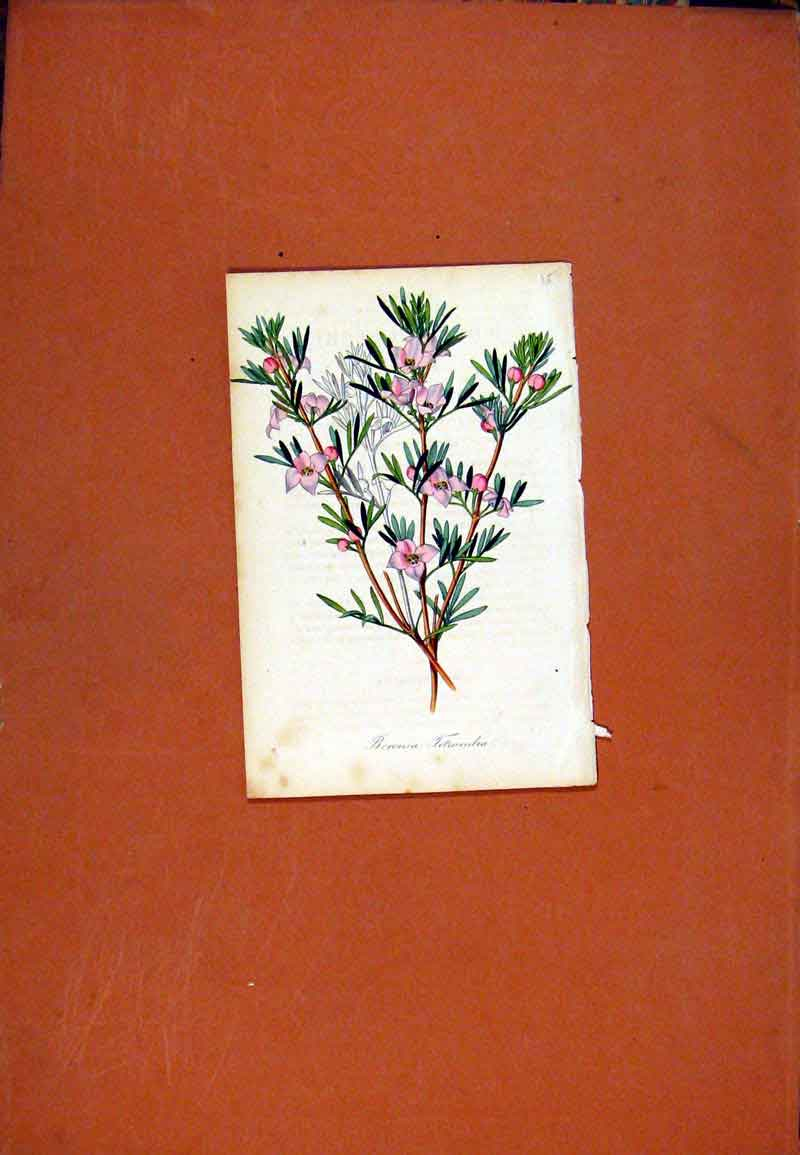 Print Hand Colored C1831 Boronia Botanical 017471 Old Original