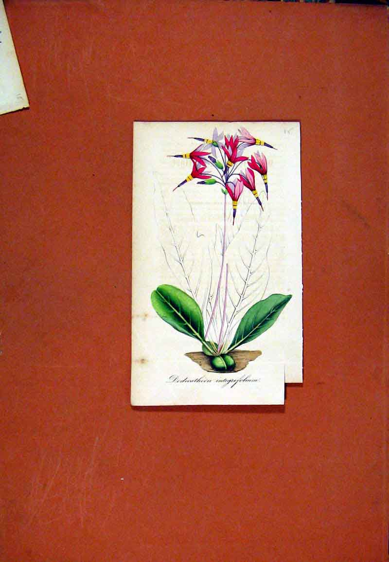 Print Dodecatheon Flower Hand Colored Botanical C1831 Art 027471 Old Original