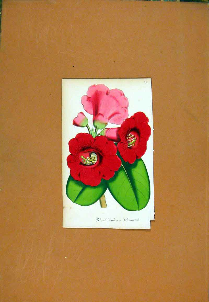 Print Rhododenrou Hand Colored Botanical 057471 Old Original