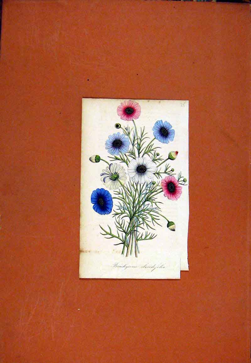 Print Brachyeome Hand Colored Flower Plant C1831 067471 Old Original