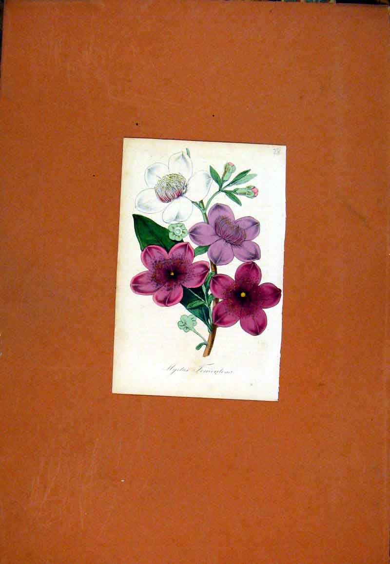 Print Flower Plant Hand Colored Botanical 077471 Old Original