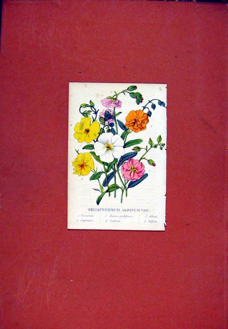 Print Helianthemum Flower Hand Colored C1831 097471 Old Original