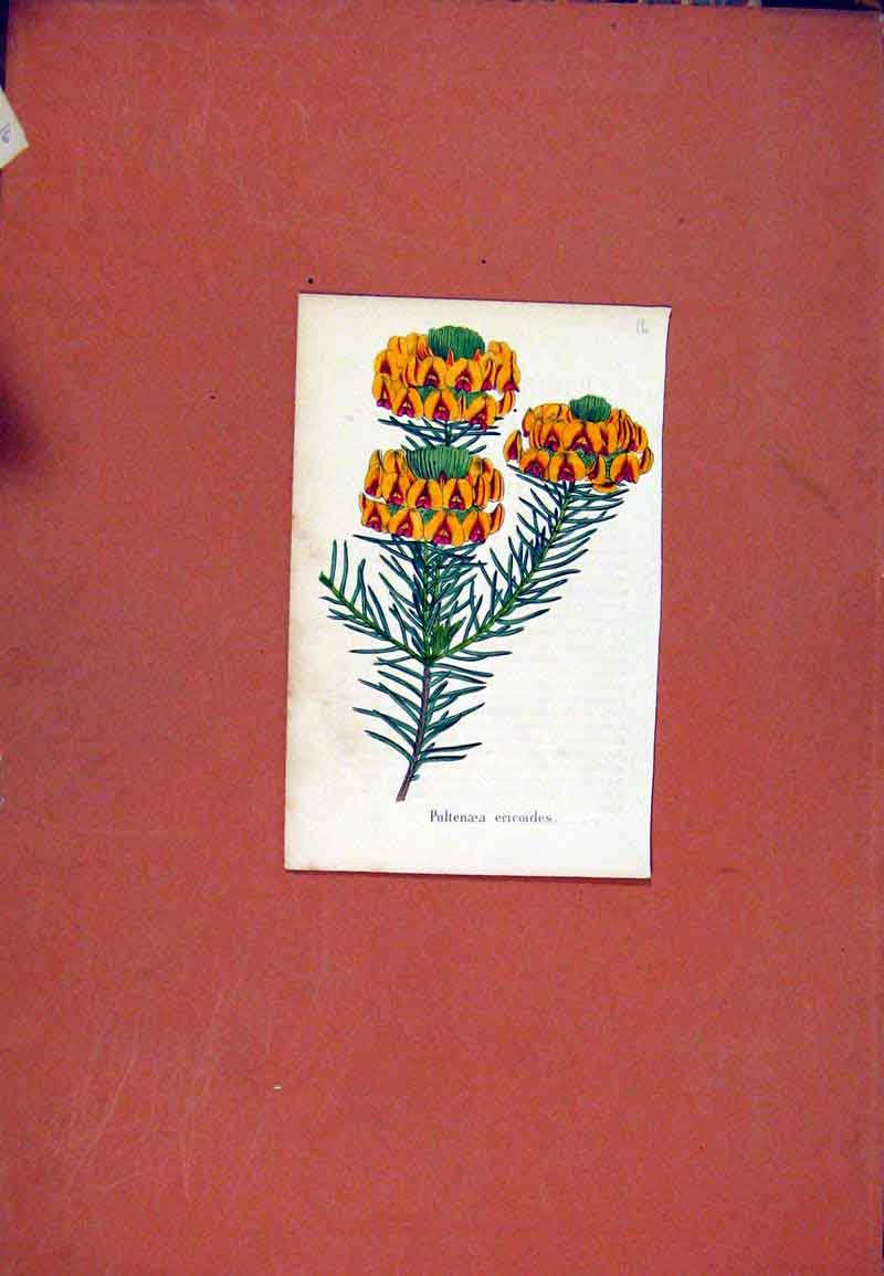 Print Pultenaea Flower Plant C1831 Colored 127471 Old Original