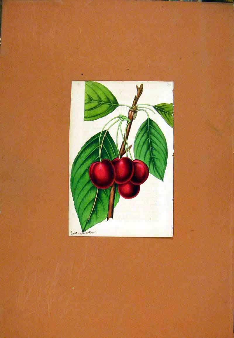 Print Flower Plant Cherry Fruit Hand Colored Curtis C1831 Old Original