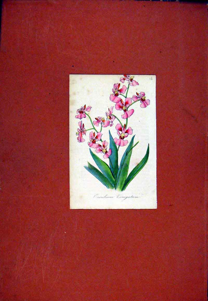 Print Hand Colored Flower Plant C1831 Oncidium Art 317471 Old Original