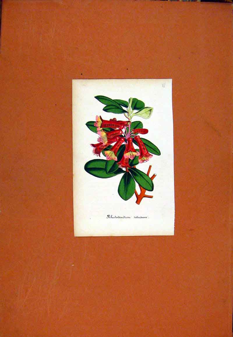 Print Hand Colored Curtis Botanical Rhododendrou 407471 Old Original