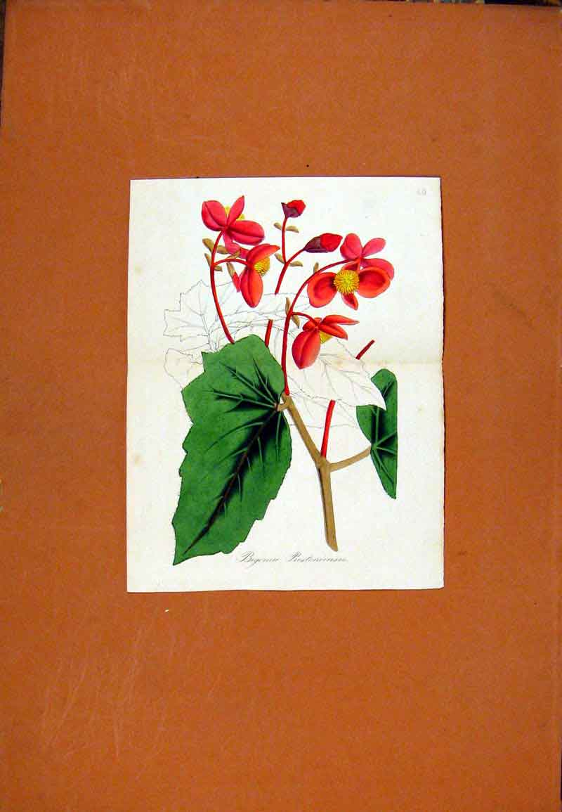 Print Hand Colored Flower Plant Red Green C1831 437471 Old Original