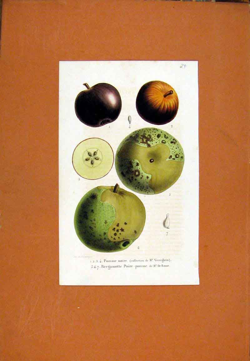 Print Pomme Fruit Hand Colored Fine Art C1831 027471 Old Original