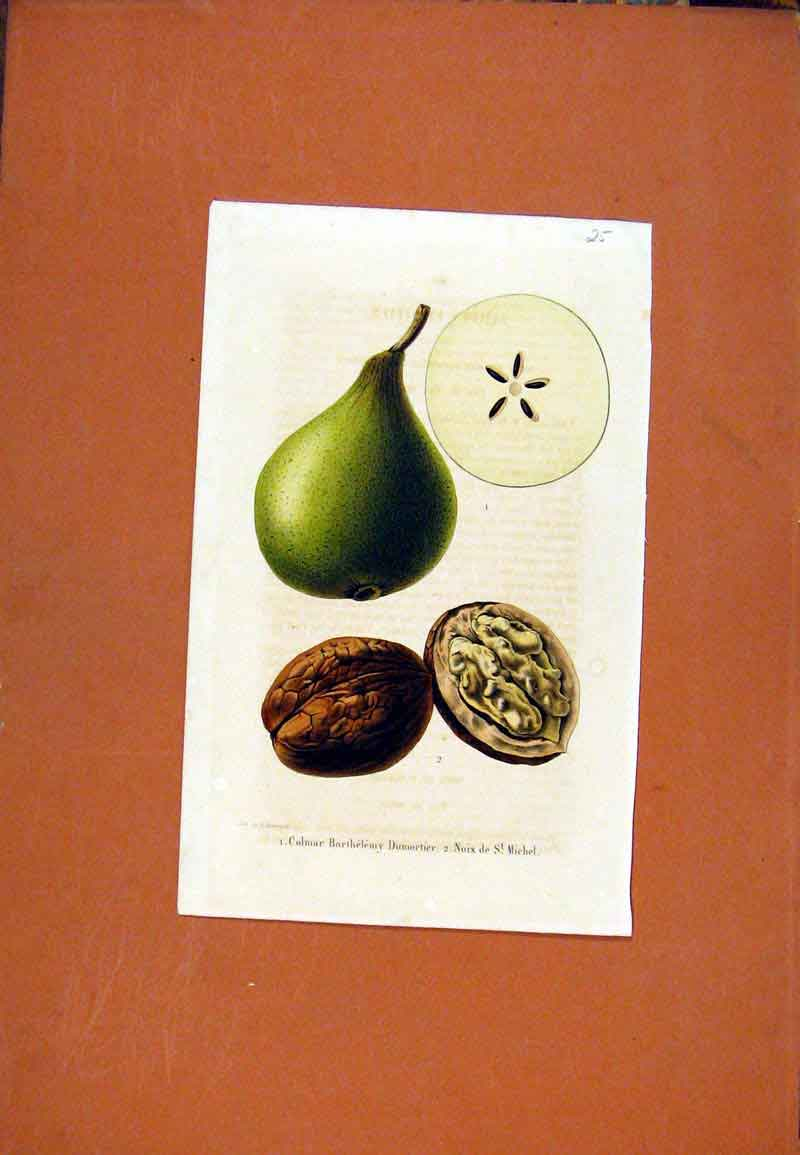 Print Nut Pear Fruit Hand Colored Drawing Fine Art 037471 Old Original