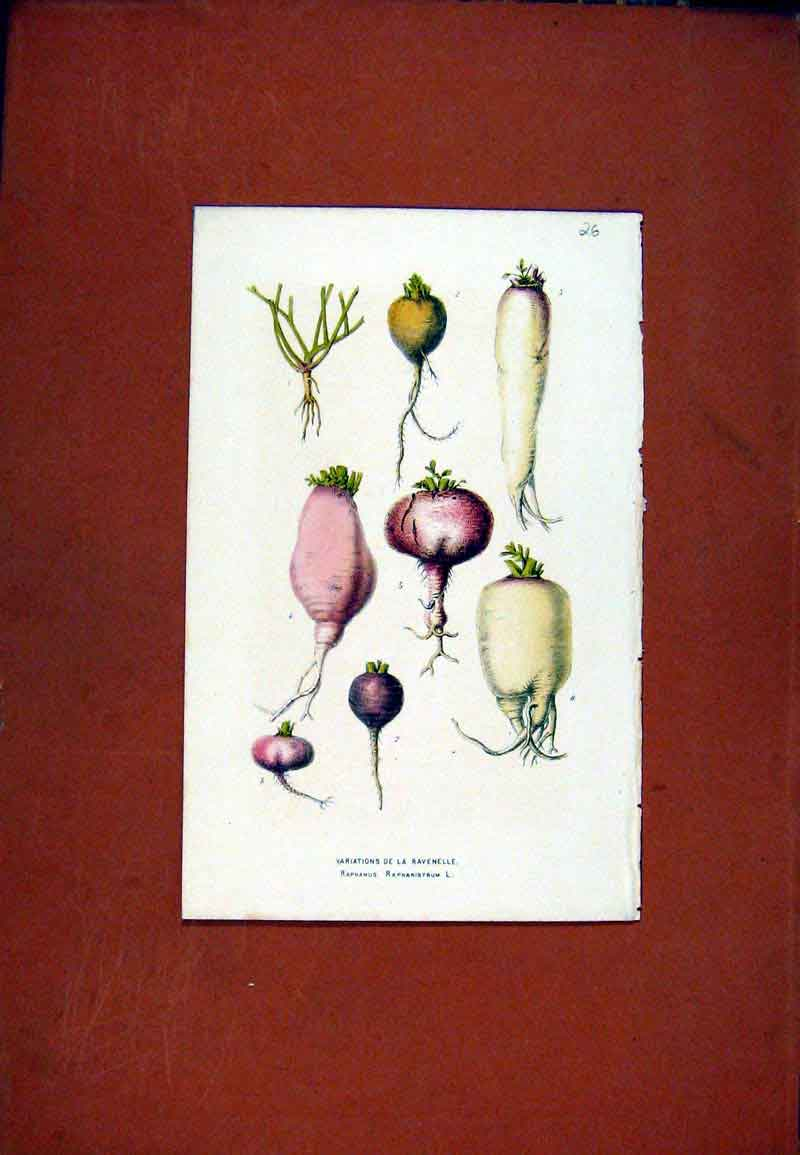 Print Roots Bulbs Fine Art C1831 Drawing Hand Colored 047471 Old Original