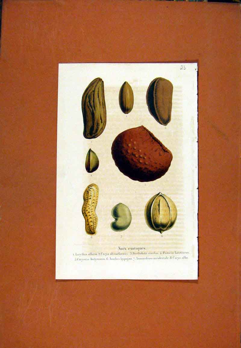 Print Seed Flower Plant Hand Colored Diagrams C1831 167471 Old Original