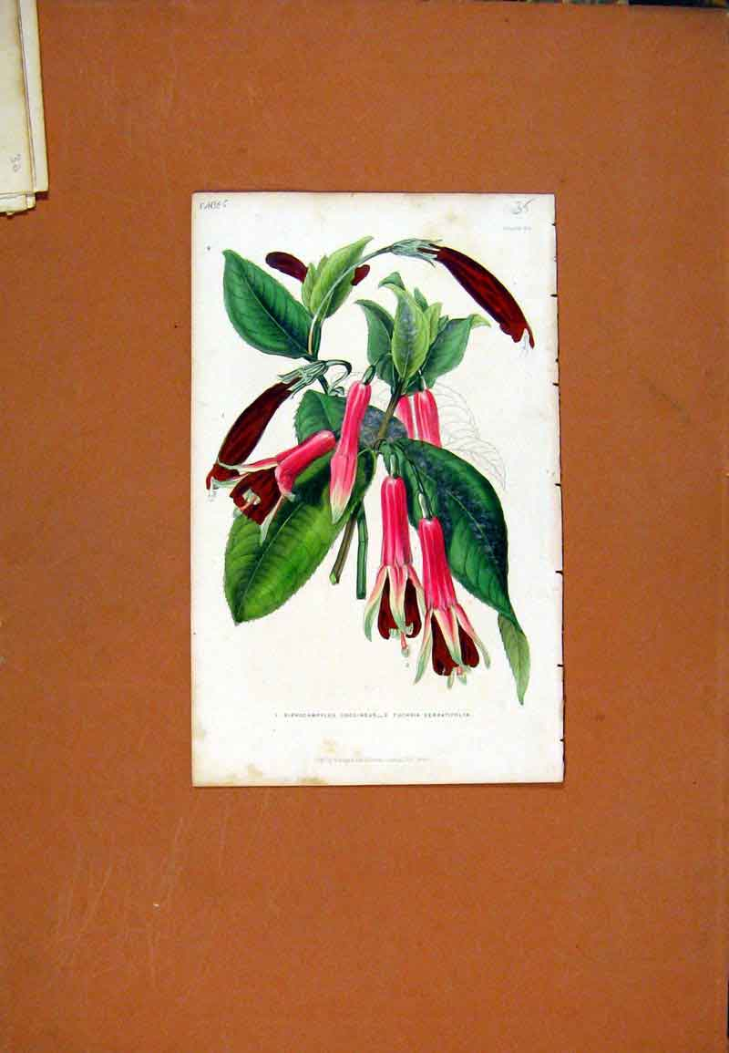 Print Pomergranite Hand Colored C1831 Fruit 177471 Old Original