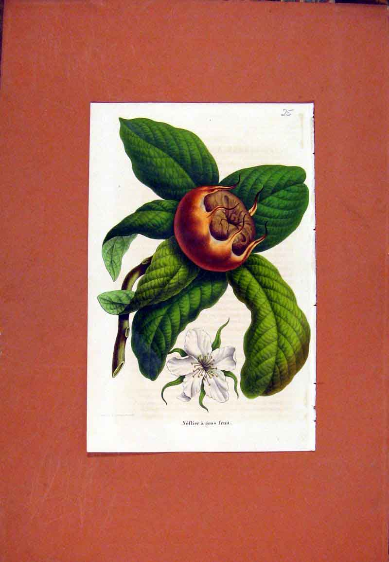 Print Flower Plant Hand Colored Fruit C1831 187471 Old Original