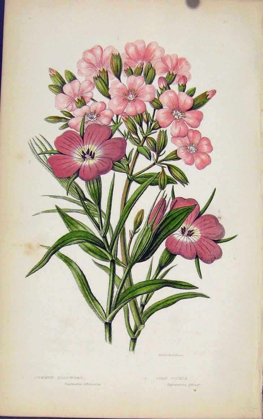[Print Flowering Plants Common Soap Wort Corn Cockle 127501 Old Original]