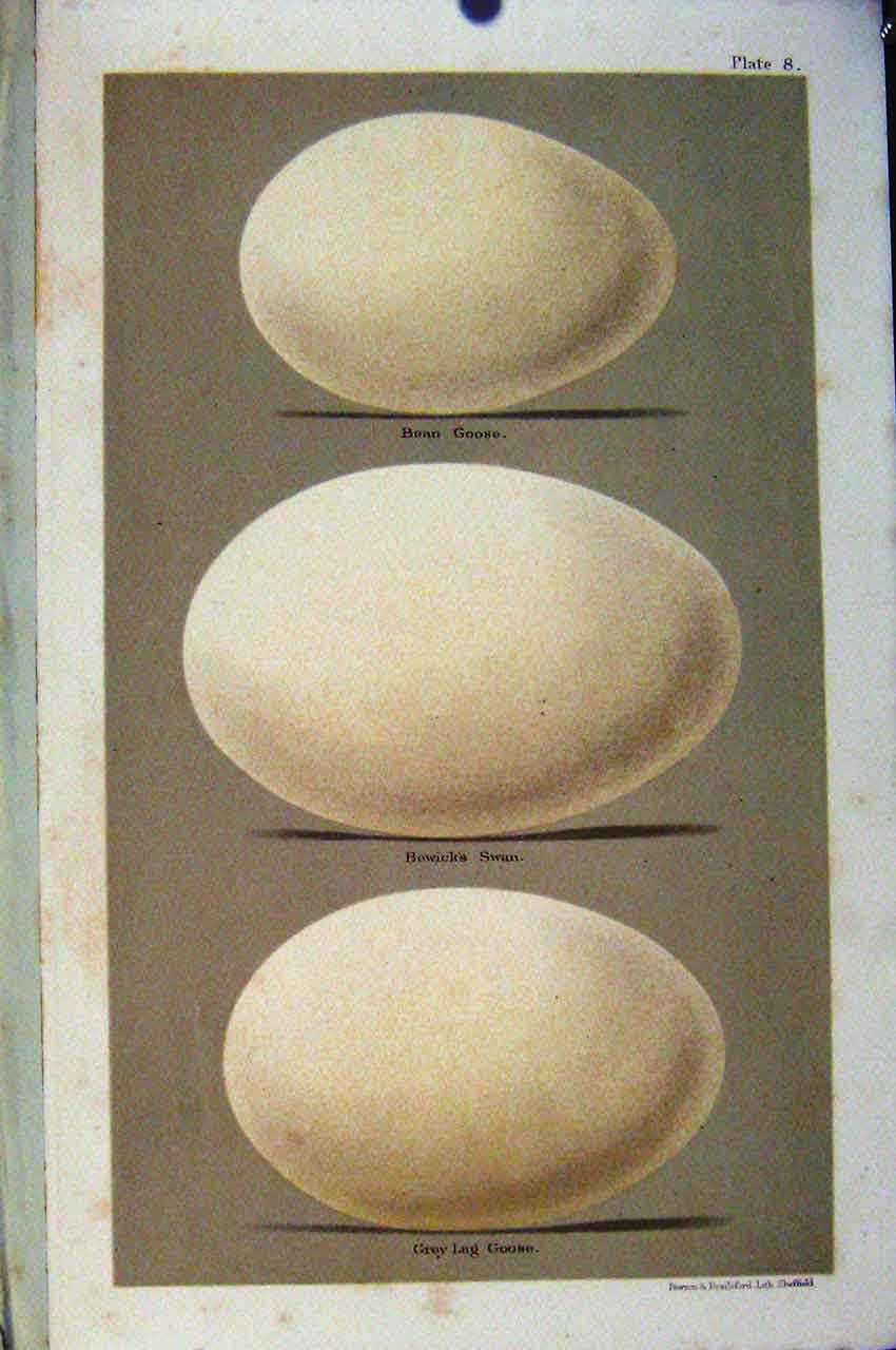 Print Bean Goose Bewicks Swan Bird Eggs Seebohm Plate 8 087611 Old Original