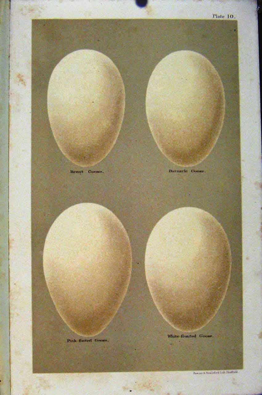 Print Brent Goose Barnacle Plate 10 Bird Eggs Seebohm 107611 Old Original
