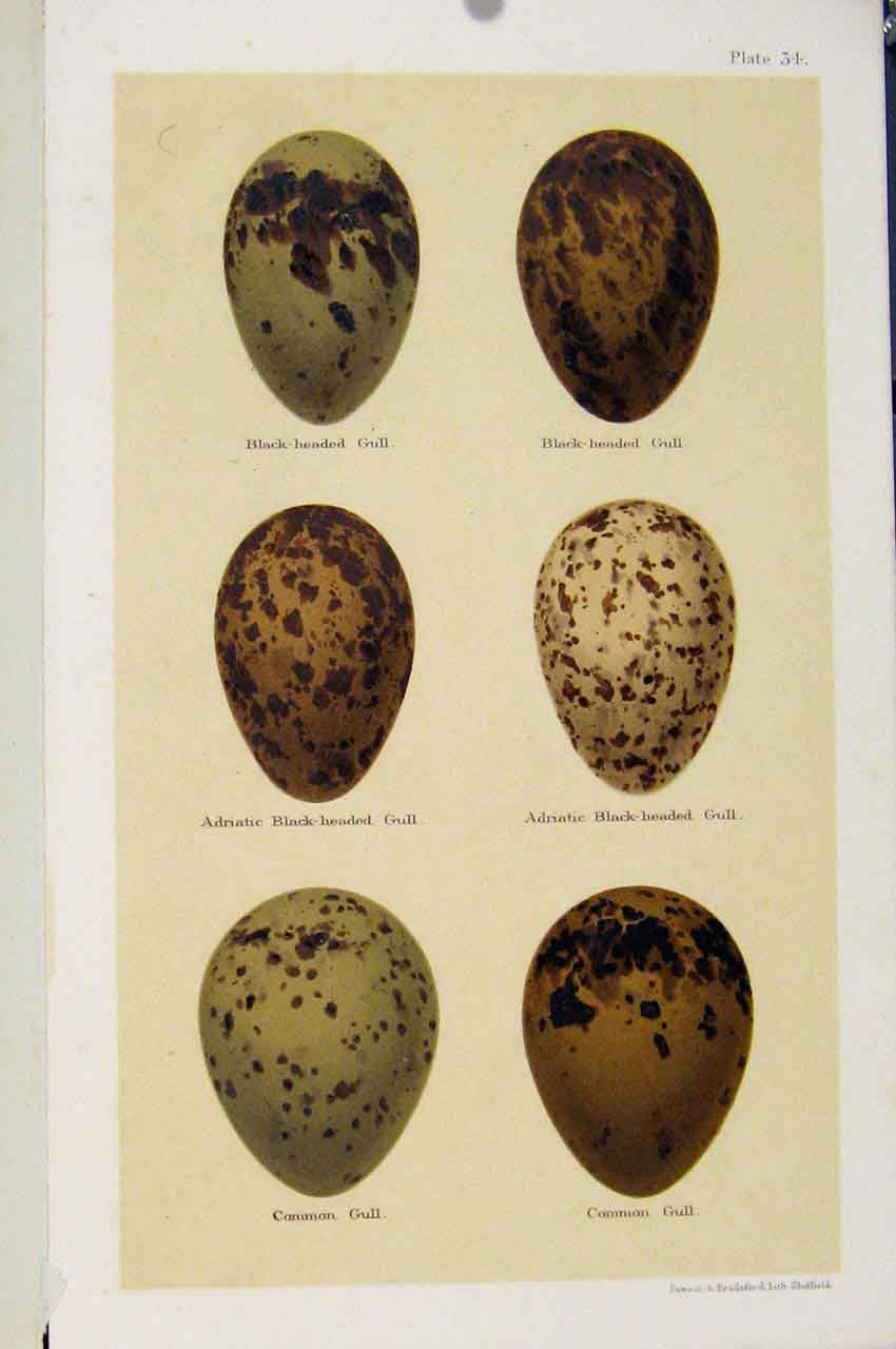 Print Seebohm Gull Speices Bird Eggs C1896 Plate 34 347611 Old Original