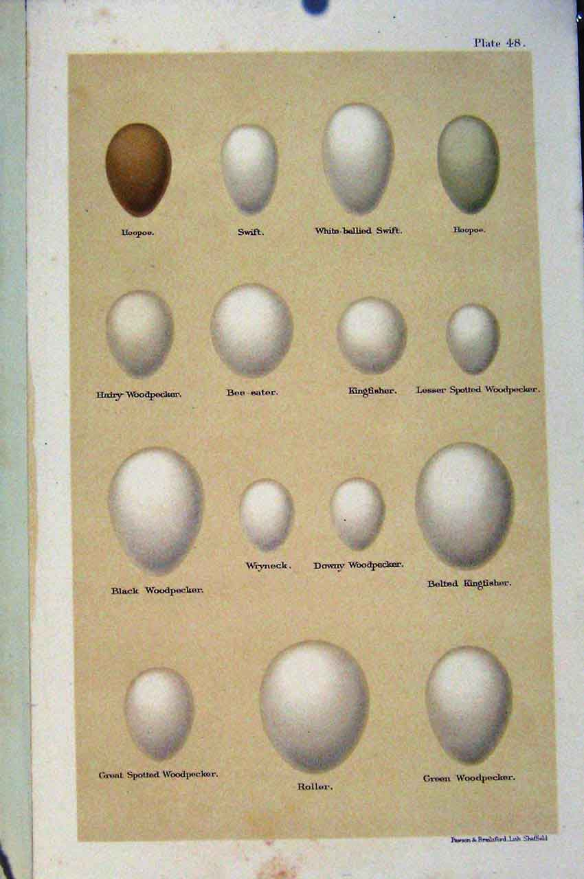 Print Swift Hoopoo Kingfisher Wryneck Bird Eggs Seebohm 487611 Old Original