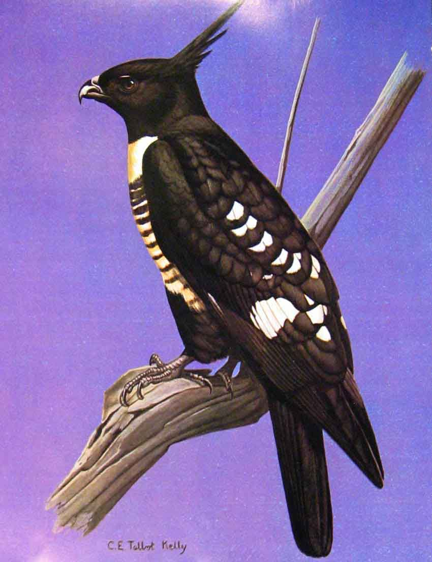 [Print Eagles Hawks & Falcons Black Baza Adult Male 08E7681 Old Original]
