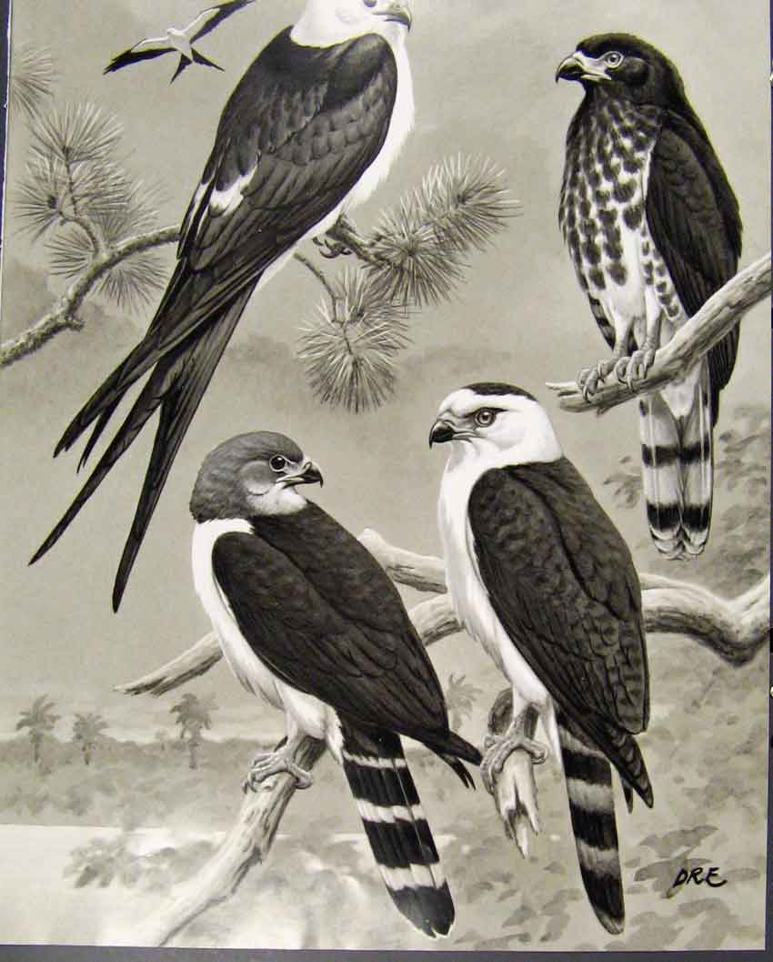 [Print Eagles Hawks & Falcons Kites Birds Color Plate C1898 09E7681 Old Original]