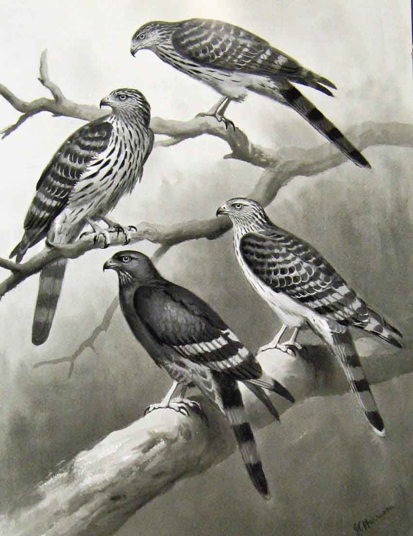 [Print Eagles Hawks & Falcons Long Tailed Honey Buzzard Plate 11E7681 Old Original]