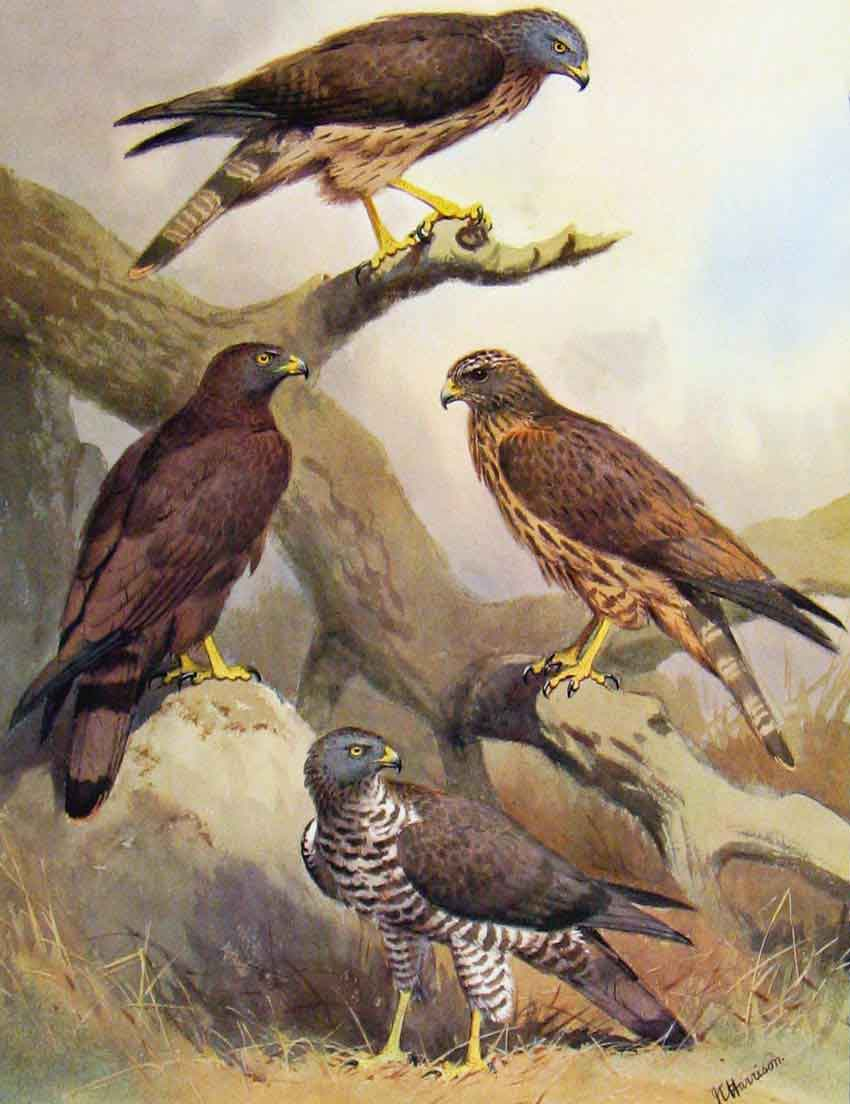 [Print Eagles Hawks & Falcons Honey Buzzard C1898 Color Plate 12E7681 Old Original]