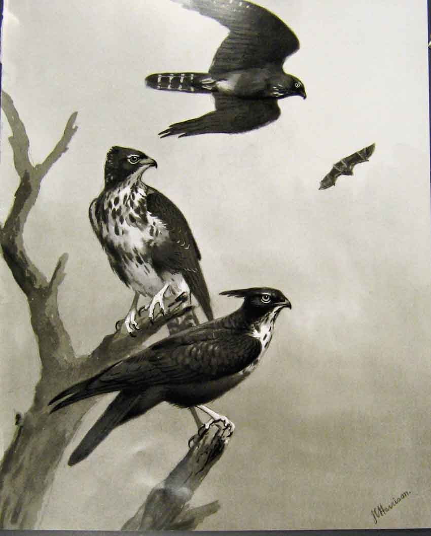 [Print Eagles Hawks & Falcons Bat Hawk Adult Immature Plate 14E7681 Old Original]