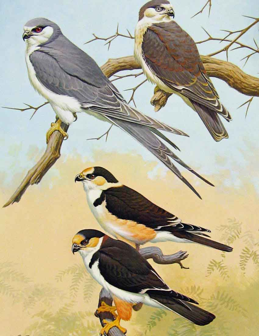 [Print Eagles Hawks & Falcons African Swallow Tailed Kite 15E7681 Old Original]